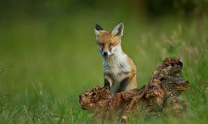 Fox cub, UK