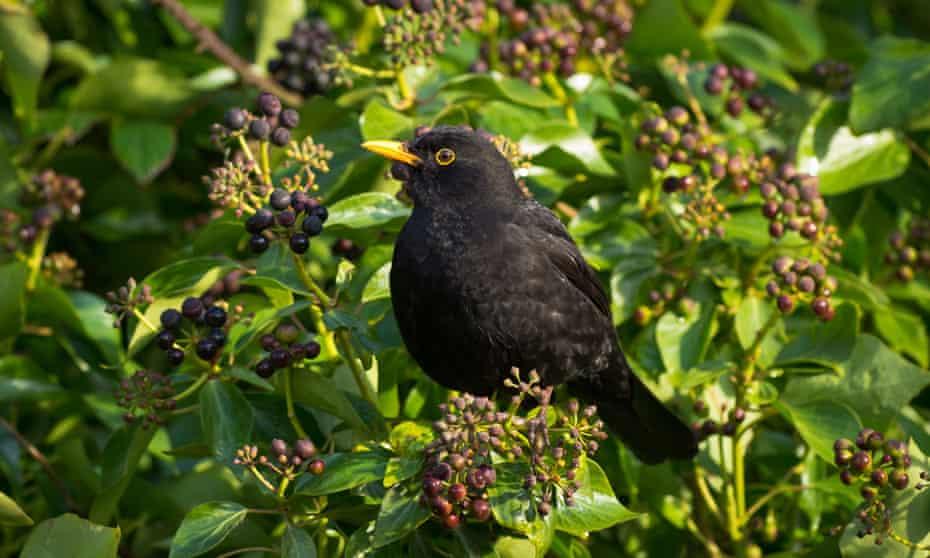 A blackbird on ivy