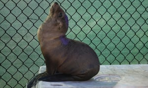 A sea lion pup in care at the Marine Mammal Centre in Sausalito, California.