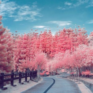 Pink cherry blossoms with empty road.