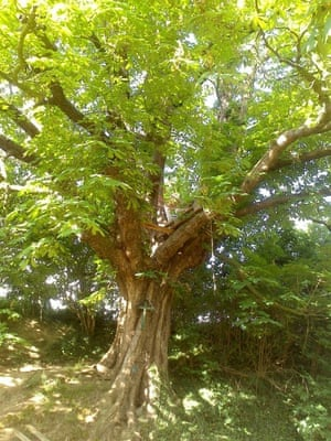 European Tree of the Year 2015: The Nail tree, Voeren, Belgium