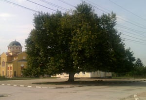 """European Tree of the Year 2015 The Plane (Platanus) in Archar village, Village of Archar, Vidin Region, Bulgaria The story of this tree is a story of a true friend. A friend who has stood for decades as a brave fighter, and a guardian of the people from the village of Archar. The plane is part of their life - an everyday witness of local events, an observer of activities organised by the Community Centre. Every year it greets first graders who enter the local school and bids goodbye to the graduating students. On Sundays it casts its friendly shadow over visitors to the weekly market. It attends the traditional """"Ilinden"""" Archar Fair as a most renowned guest and also takes part in all festive events. Age: 51 years"""