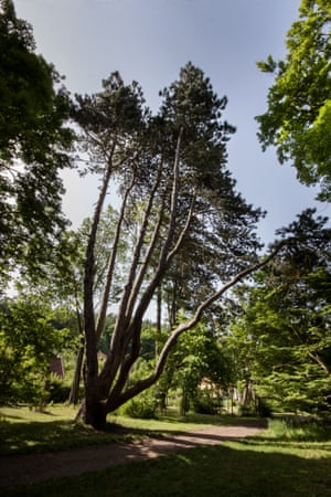 European Tree of the Year 2015 The Opatovice Pine (Pinus nigra ssp. austriaca), Velk   Opatovice, South Moravian region, Czech republic Thanks to its unique way of branching, this pine is the landmark of the castle park in Velk   Opatovice. Reminiscent of a seven-headed dragon, it has attracted many generations of children to climb its branches. According to folk tales, the tree is a cursed dragon that fought St. George, patron of the local church. The pine used to be called    Juliette    because Countess Julie Herberstein, the last owner of the Opatovice estates often sat on a white bench underneath it. The pine has been selected as a mother tree for seed collection and reproduction Age : 257 years