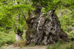 Ch  taignier mill  naire de Pianello. La candidature le l'arbre est soutenue par tout el village qui veut retrouver les ch  taigneraies actives des si  cles pass  s.European Tree of the Year 2015The chestnut tree, Pianello, Corsica, FranceThis chestnut tree, 15 metres in circumference, belongs to a species which, for hundreds of years, fed human groups settled in the area. Collective memory has recorded its gratitude by naming it    the bread tree   . Furthermore, its fruit is a suitable food for breeding pigs in the traditional way. It is a venerable specimen, worthy of being listed among France   s outstanding trees. From an aesthetic perspective, the discerning eye will note that it looks like a fantastical being     half plant, half human     that stands guard over its surroundings.Species: Sweet chestnut (Castanea sativa)Age: 800 - 1 000 years