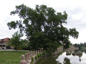 European Tree of the Year 2015 On the banks of the Old Lake of Tata, a Oriental Plane (Platanus orientalis) has guarded the castle gate for 230 years. Along with several others the tree was brought from Versailles by a member of the Esterházy family. If it could speak the old plane would fill several books with stories about friendships, loves and artists inspired by the great sycamores. Mátyás Pribojszky the writer wrote the story of the Sycamore King, after he regained his writing skills thanks to the tree. Age: 232 years