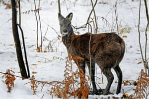 """1. Siberian musk deer (Moschus moschiferus) All male musk deer are highly sought after for their musk pod, a scent gland, which is used in the perfume trade and for traditional medicines. Each male produces only around 25g of musk and although it can be extracted from live animals, most """"musk-gatherers"""" kill the animals to remove the entire sac. An estimated 25,000 adult male Siberian musk deers were killed between 1990 and 2001. As hunting is often indiscriminate of sex and age, four to five musk deer are estimated to be killed per one musk-pod harvested. Musk deer populations from Afghanistan, Bhutan, India, Myanmar, Nepal and Pakistan are listed in CITES Appendix I, which bans international commercial trade."""