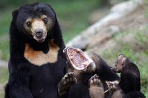 Two sun bears play inside an enclosure at the Vietnam Bear Rescue Centre, which is operated by international organization Animals Asia, in Tam Dao national park, about 70 kms from Hanoi, Vietnam, 05 November 2014.  2. ( ) The gall bladders of all bears are in high demand for use in traditional Chinese medicine. While bile is milked from commercially-farmed bears, bears are routinely removed from the wild to stock or restock these small commercial farms. Bear meat, particularly the paws, is considered a culinary delicacy. Killing bears is illegal in all bear range countries but is largely uncontrolled. The species is extinct in Singapore and has possibly become extinct more recently in Bangladesh and China. Sun bears are listed in CITES Appendix I, which bans international commercial trade.