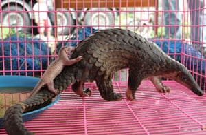 A file photo dated 20 April 2011 shows a newly born confiscated smuggled pangolin accompanied by its mother shortly after giving birth, prior a press conference in Bangkok, Thailand.  3. Sunda pangolin (Manis javanica) The Sunda pangolin is critically endangered and IUCN reports that wild populations have halved in the past 15 years. Pangolins are among the most trafficked mammals in Asia. They are in high demand both for their meat and for their scales, which are used in traditional medicine—and as love charms. Tens of thousands of Sunda pangolins have been poached from the wild, headed primarily to China where it is considered a luxury food. Listed in CITES Appendix II, there is a zero annual export quota for this species removed from the wild and traded for primarily commercial purposes.