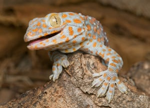 Tokay gecko, Gekko gecko, on Atauro Island, Timor-Leste (East Timor). Image shot 2010. 4. Tokay gecko (Gekko gecko) Since 2009, demand for tokay geckos was reported to have sky-rocketed following rumors that extracts from the lizard could cure HIV/AIDS, a claim refuted by the World Health Organization (WHO). A TRAFFIC report found that millions of tokay geckos are being taken from the wild to supply the traditional medicine trade in East Asia. In 2011 a shipment of 6.75 tonnes (an estimated 1.2 million individuals) of dried tokay geckos, illegally harvested in Java, was intercepted en route to Hong Kong. The species is not listed under CITES.