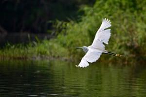 Heron in flight, India
