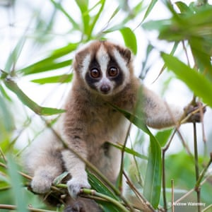 9. Javan slow loris (Nycticebus javanicus) Ranking high on the cute-and-cuddly scale, slow lorises have long been in demand as exotic pets. Today, severe and persistent poaching of the critically endangered Javan slow loris from the wild has resulted in a dramatic population decline of at least 80 percent over the past few decades. The only venomous primates found in nature, poachers cut or remove their teeth, a process that almost invariably leads to the animal's death. This species is protected by Indonesian law and is listed in CITES Appendix I, which bans international commercial trade.
