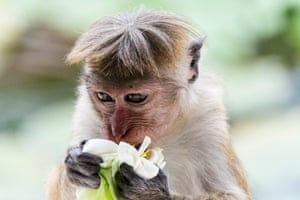 A Toque Macaque eating a lotus flower in Dambulla, Sri Lanka