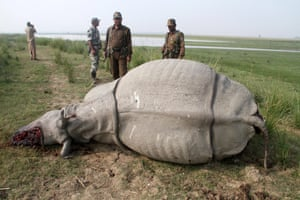 Forestry officials stand near a dead, one-horned Rhino which was killed by the poachers, inside the Pobitora Wildlife Sanctuary in Morigaon district of Assam about 50 km from Guwahati city, India, 15 November 2014. The Rhino was shot dead by the poachers for its horn.