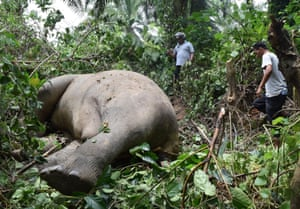 Villagers inspect a dead Sumatran elephant allegedly killed by poachers for its tusks, in Jambo Reuhat village, East Aceh, Indonesia, Sunday, Sept. 7, 2014.