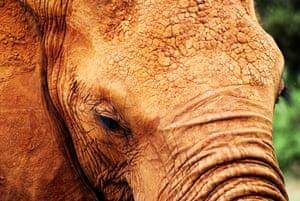 Red elephant closeup in Kenya