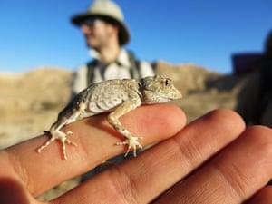 Tiny lizard on finger, Oman