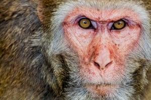 Wild monkey closeup in Bangladesh