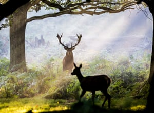 A dominant stag in Richmond Park, London