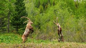 Alpine Ibex fighting near Chamonix in France