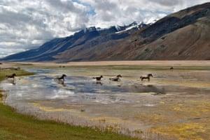 Wild horses in Pangong Lake, Ladakh