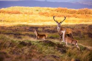Red deer in the Peak District