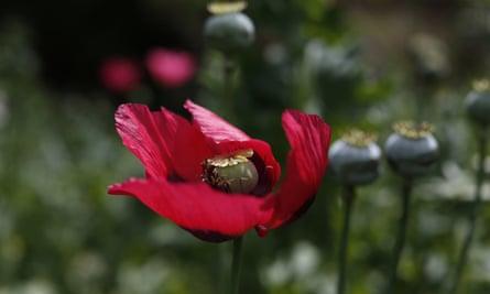 opium poppy guerrero mexico