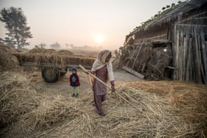 A woman prepares hay to feed buffalos and cows