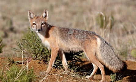 The swift fox (Vulpes velox) is prone to a spot of infidelity.