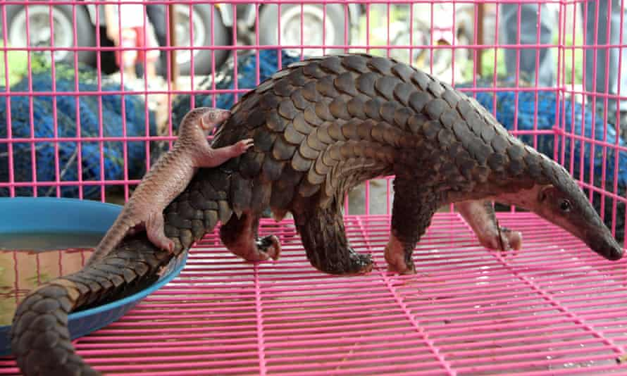 A newly born confiscated smuggled pangolin accompanied by its mother shortly after giving birth, in Bangkok, Thailand.