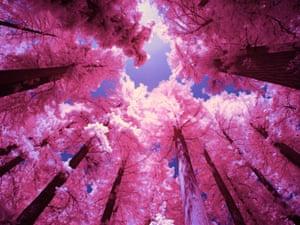 Sequoia tree tops, California, USA.