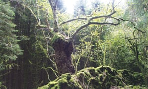 An old pollarded ash tree at Dyffryn Crawnon, Breconshire (2007).