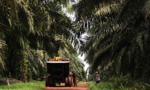 Labourers loading palm fruits onto truck on a palm plantation, Sumatra, Indonesia.