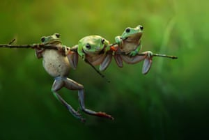 Three cute frogs in the morning light, Indonesia