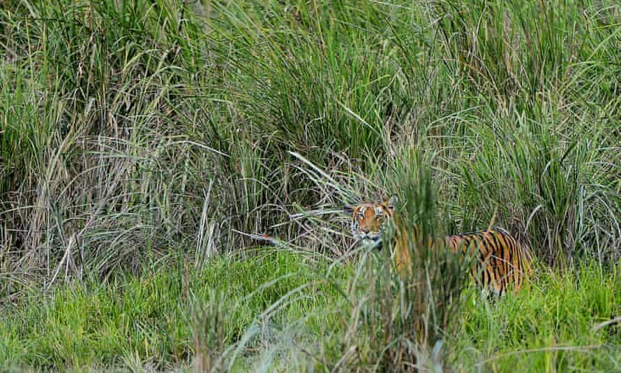 One among the 116 Royal Bengal Tiger of Kaziranga National Park seen among the bushes at Kaziranga National Park