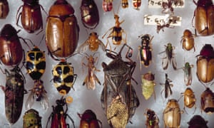 A selection of beetles lay on styrofoam for the Institute for Biodiversity, a reseach organization in Hitoy-Cerere Biological Reserve, Costa Rica, 1993.