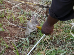 Rats that successfully locate the mines are rewarded with a click from their trainers and a quick mouthful of banana