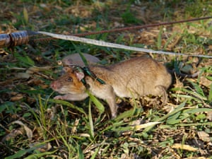 Apopo's rats, which have lifespans of about eight years, tend to outlive their wild peers, who are seen as a pest for the damage they do to crops or as a source of food