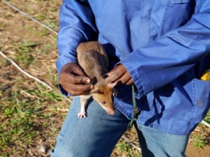 The cadre of rats currently being trained in Morogoro could be deployed to Cambodia, where Apopo is working to help address the legacy of 30 years of conflict