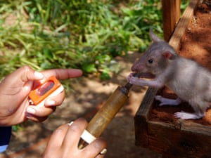 Once they are accustomed to human noise, scent and handling, the young rats are taught to associate the sound of a clicker with a reward