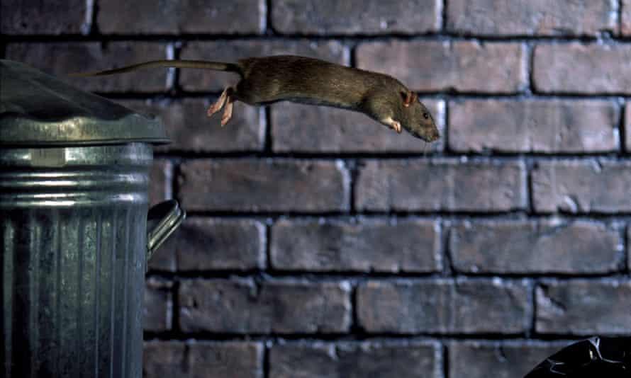 Leaping rat