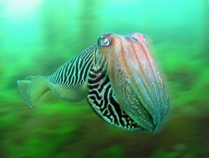 Category 8. British Waters Compact For any underwater photos taken in British seas and freshwater (not including swimming pools, aquariums etc) with compact cameras. WINNER: 'Cuttlefish in a blur' - Trevor Rees