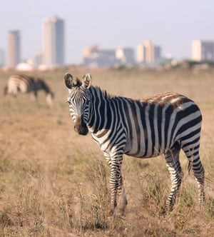 Litter and waste carried from the city by the wind or left by visitors to Nairobi national park poses a threat to its wild inhabitants