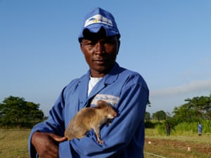 Apopo trainer Miraji Saidi poses with his rat. The NGO says its animals can each search 200 square metres of land in just 20 minutes; people using metal detectors would take five days to search the same area.