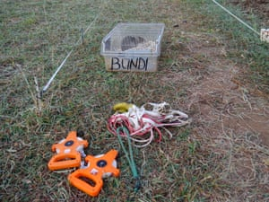 Bundi, a trainee mine-detecting rat, rests near the tools of the trainers' trade: tape measures, harnesses and ropes.