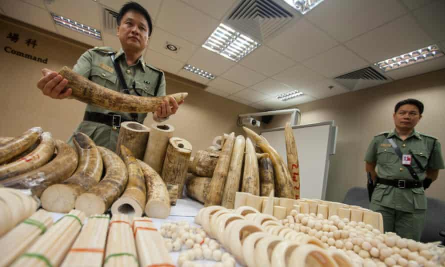 A Hong Kong Customs officer displays seized ivory at the Hong Kong international airport.