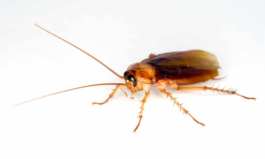 The Amercian cockroach, Periplaneta americana: some are shy, while others are bold, researchers found.