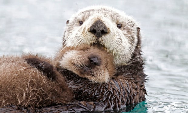 A sea otter mother and her young pup, Alaska – Earth's Frozen Kingdom