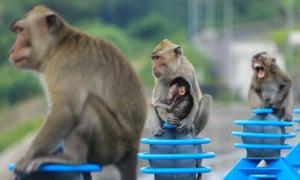 Semarang, Indonesia Long-tailed macaques, or Macaca fascicularis.