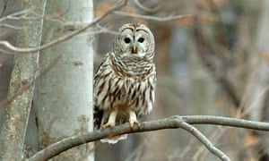 A barred owl –probably not the hat thief.