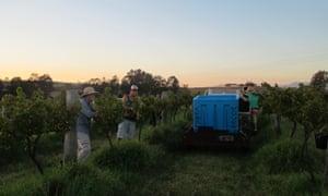 Hunter Valley harvest of organic wine.